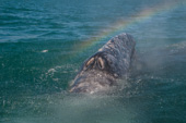 Travel Trip Photo: Gray Whale and Rainbow from it's blow, whale watching tour in Bahia Magdalena, Lopez Mateos, South Baja, Mexico