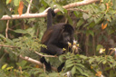 Travel Trip: Howler monkey, Cano Negro Wildlife Refuge, Costa Rica