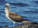 Travel Trip Photo: Blue-footed Booby, Puerto Egas (James Bay), Santiago (James)  Island, Galapagos Islands, Ecuador