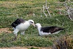 Travel Trip Photo: Laysan Albatross in mating ritual, Oahu, Hawaii