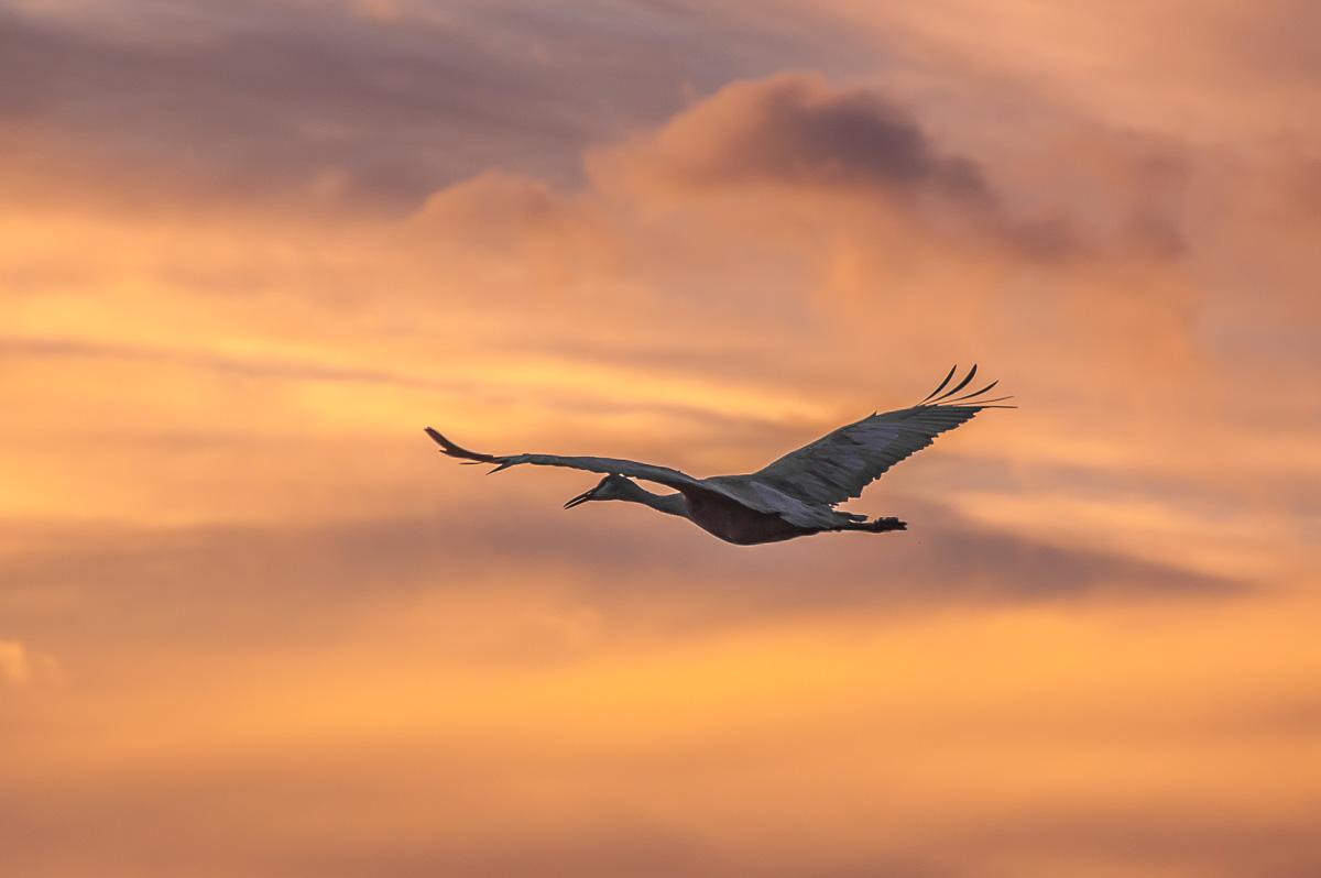 Travel Trip Photo: Sandhill Crane in flight, Bosque del Apache National Wildlife Refuge