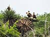Travel Trip Photo: Crested Caracara on their nest in grass tree, Laguna Atascos National Wildlife Refuge, south Texas