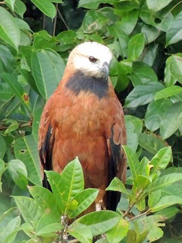 Travel Trip Photo: Black-collored Hawk on our boat ride along canals in Parque Nacional Tortuguero