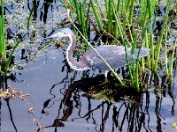 Travel Trip: Great blue heron, Green Cay wildlife refuge, Florida