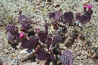 Grand Canyon Hike Photo: Prickly Pear cactus