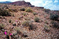 Grand Canyon Hike Photo: Hillside of Prickly Pear cactus, Tonto trail around Horseshoe Mesa