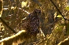 Pacific Northwest Travel Trip: Northern spotted owl, Hoh rain forest, Olympic National Park, Washington