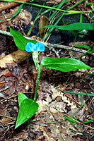 RV trip photo: Great Smoky Mountains National Park - Asiatic Dayflower along Newfound Gap road