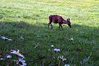 RV trip photo: Great Smoky Mountains National Park - White-tailed deer, Cades Cove